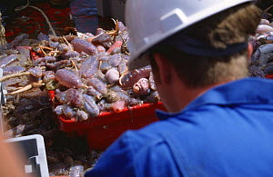 Scientist sorting out catch from benthic deepsea trawl, Ireland  -  Elizabeth White