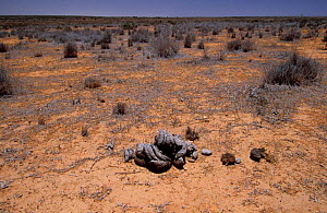 Cow dung on the red earth of the Outback  -  Elizabeth White