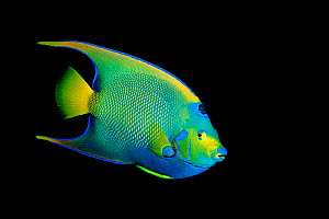 Queen angelfish {Holacanthus ciliaris} Gulf of Mexico, Texas, USA  (Non-ex).  -  Doug Perrine