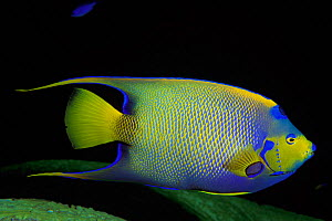 Queen angelfish {Holacanthus ciliaris} Cayman Islands, Caribbean Sea, Atlantic  (Non-ex).  -  Doug Perrine