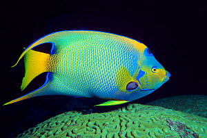 Queen angelfish {Holacanthus ciliaris} over brain coral, Cayman Islands, Caribbean Sea, Atlantic Ocean  (Non-ex).  -  Doug Perrine