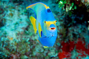 Queen angelfish head on {Holacanthus ciliaris} Bahamas, Caribbean Sea, Atlantic Ocean  (Non-ex).  -  Doug Perrine
