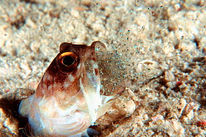 Ring-eye jawfish male expels larvae after brooding eggs in mouth for a week {Opistognathus sp} Borneo  (Non-ex). - Doug Perrine