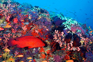 Coral Hind / grouper {Cephalopholis miniata} on coral reef, Maldives, Indian Ocean  (Non-ex).  -  Doug Perrine