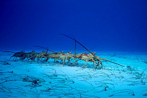 Spiny lobster migration march from juvenile to adult habitat {Panulirus argus} Bahamas, Caribbean  (Non-ex). - Doug Perrine