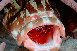 Nassau grouper {Epinephelus striatus} mouth being cleaned of parasites by clearner shrimp, Turks & Caicos, Caribbean Sea  (Non-ex). - Doug Perrine