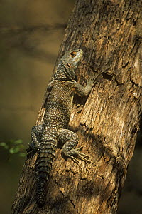 Spiny-tailed lizard {Oplurus cuvieri}, Western dry forest, Madagascar  -  Pete Oxford