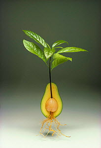 Avocado fruit growing shoots, leaves and roots {Persea americana}  -  Tony Evans
