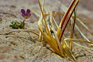 Wild pansy in flower on sand dune {Viola tricolor}  -  Tony Evans