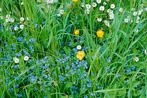 Germander speedwell {Veronica chamaedrys} Buttercups and Daisies - wildflowers, UK  -  Tony Evans