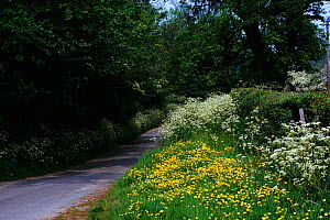 Buttercups {Ranunculus acris} and Cow Parsley (Anthriscus sylvestris) in grass verge UK - Tony Evans