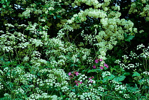Cow parsley flowering by Hawthorn hedge {Anthriscus sylvestris} UK - Tony Evans