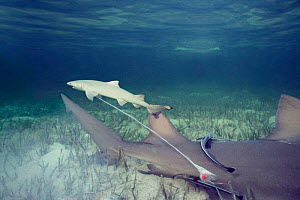Newborn Lemon shark pup still attached to mother {Negaprion brevirostris} Bahamas, Caribbean  (Non-ex).  -  Doug Perrine