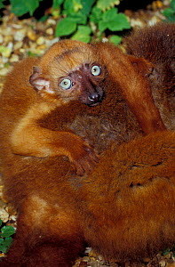 Sclater's black lemur young on mother's back {Eulemur macaco flavifrons} Madagascar, Critically Endangered  -  Rod Williams