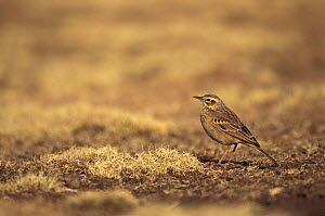 Plain backed pipit {Anthus leucophrys} Simien mts NP, Ethiopia  -  David Pike