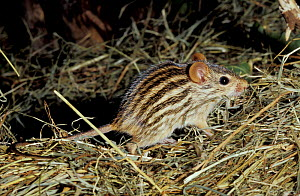 Striped grass mouse {Lemniscomys barbarus} occurs Africa, captive - Rod Williams