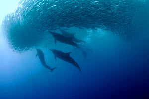 Long beaked common dolphins {Delphinus capensis} attacking baitball of sardines, South Africa  (Non-ex). - Doug Perrine
