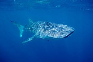 Whale shark {Rhincodon typus} West Australia, Indian Ocean  (Non-ex). - Doug Perrine
