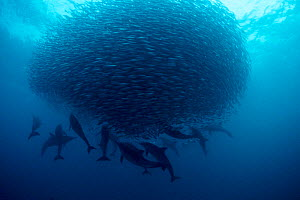 Long beaked common dolphins {Delphinus capensis} preying on baitball of sardines, S Africa  (Non-ex).  -  Doug Perrine