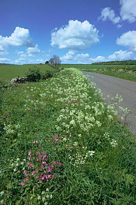 Cow parsely flowering on roadside verge {Anthriscus sylvestris} UK - Tony Evans