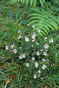 Eyebright flowering {Euphrasia officinalis} UK  -  Tony Evans