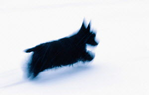 Scottish terrier domestic dog running in snow {Canis familiaris}  -  Niall Benvie