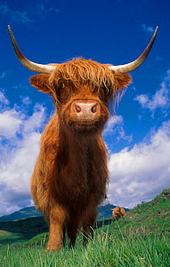 Highland cattle bull portrait {Bos taurus} Scotland UK  -  Niall Benvie