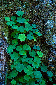 Wood sorrel leaves {Oxalis acetosella} UK - Tony Evans