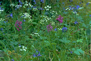 Early purple orchid {Orchis mascula} flowering amongst Bluebells and Cow parsley, UK - Tony Evans