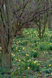 Wild daffodils flowering in woodland {Narcissus pseudonarcissus} Glos, UK  -  Tony Evans