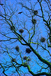 Rooks nests at rookery {Corvus frugilegus} UK  -  Tony Evans