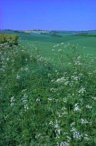 Open downland with cow parsley (Anthriscus sylvestris) flowering on verge Wiltshire, UK - Tony Evans