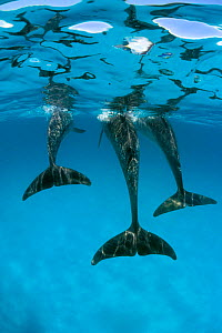 Atlantic spotted dolphins abstract underwater {Stenella frontalis} Bahamas, Caribbean Se ~(Non-ex). - Doug Perrine