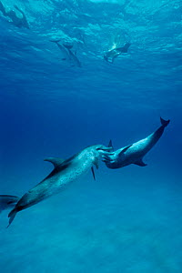Atlantic spotted dolphins in mock combat {Stenella frontalis} Bahamas, Caribbean  (Non-ex).  -  Doug Perrine
