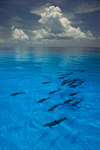 Atlantic spotted dolphins at surface {Stenella frontalis} Bahamas, Caribbean Sea  (Non-ex). - Doug Perrine