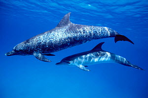 Atlantic spotted dolphin and calf {Stenella frontalis} Bahamas, Caribbean Sea  (Non-ex). - Doug Perrine
