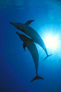 Atlantic spotted dolphins {Stenella frontalis} Bahamas, Caribbean Sea  (Non-ex). - Doug Perrine