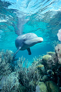 Wild sociable Bottlenose dolphin above coral reef {Tursiops truncatus} Belize -  (Non-ex).  -  Doug Perrine