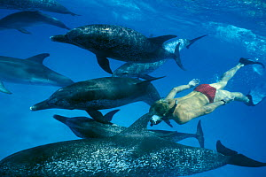 Man snorkeling with Atlantic spotted dolphins {Stenella frontalis} Bahamas  (Non-ex).  -  Doug Perrine
