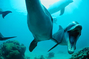 Bottlenose dolphin open mouth threat display {Tursiops truncatus} captive  (Non-ex).  -  Doug Perrine