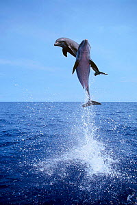Bottlenose dolphins jumping high above surface {Tursiops truncatus} Bahamas Caribbean  (Non-ex).  -  Doug Perrine