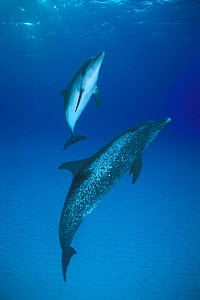 Atlantic spotted dolphin and calf {Stenella frontalis} Bahamas, Caribbean  (Non-ex). - Doug Perrine