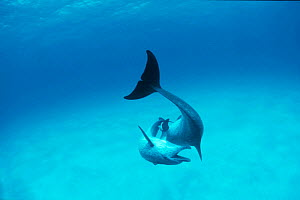 Atlantic spotted dolphins jousting {Stenella frontalis} Bahamas, Caribbean  (Non-ex). - Doug Perrine
