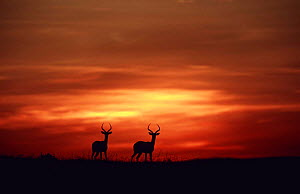 Two male Impala silhouetted against sunset sky {Aepyceros melampus} Laikipia, Kenya  -  Richard Du Toit