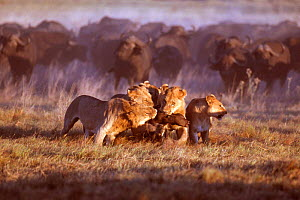African lions {Panthera leo} feeding on Buffalo calf, Okavango delta, Botswana  -  Richard Du Toit