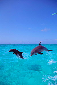 Two Atlantic Bottlenose dolphins leaping {Tursiops truncatus} Bahamas - captive  (Non-ex).  -  Doug Perrine
