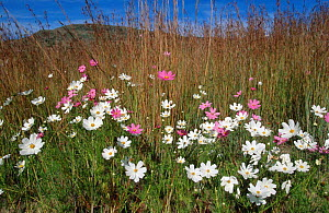 Pink and white {Cosmos bipinnatus} flowers. Mpumalanga Highveld, South Africa - Richard Du Toit