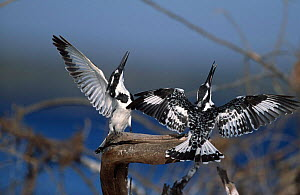 Pied kingfisher pair courtship display {Ceryle rudis} Botswana female on left, male on right.  -  Richard Du Toit