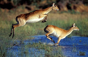 Red lechwe pair running & jumping in swamp {Kobus leche}. Khwai river, Moremi GR, Botswana - Christophe Courteau