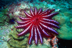 Crown of thorns starfish {Acanthaster planci} Andaman Sea, Thailand - Georgette Douwma
